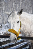 Grey horse 3 Stock Image