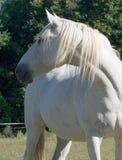 Grey Horse Stock Photos