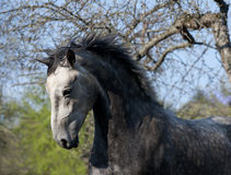 Grey horse action portrait Royalty Free Stock Image