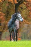 Grey horse in autumn Stock Photo