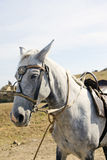The grey horse Royalty Free Stock Photography