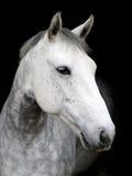Grey Horse on Black Background Stock Photos