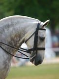 Grey Horse In Bridle. Dapple grey cob in double bridle Stock Photo
