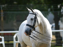Grey Horse In Bridle. Grey cob in double bridle Royalty Free Stock Photos