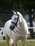 Grey Horse In Bridle. Grey cob in double bridle Stock Photos