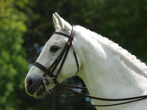Grey Horse In Bridle Stock Images