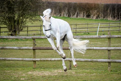 Grey Horse bucking in field Royalty Free Stock Photos