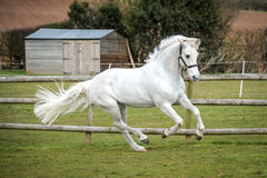 Grey Horse cantering in field stock photo