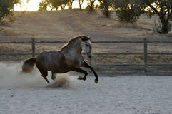 Grey horse cantering royalty free stock photography