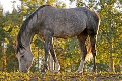Grey Horse che pasce fra gli alberi Immagine Stock