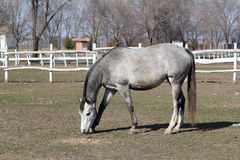 Grey horse in corral Royalty Free Stock Photography