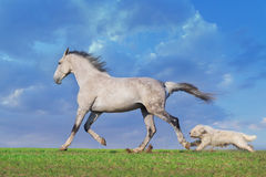 Grey horse with dog