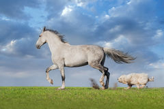 Grey horse with dog. Beautiful grey trotter horse run with dog at the meadow Royalty Free Stock Image