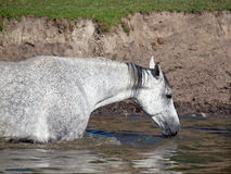 The grey horse drink water Stock Images