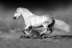 Grey horse in dust Royalty Free Stock Images
