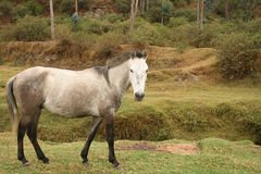 Grey Horse Eating Grass Royalty Free Stock Images