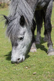 Grey horse eating grass Stock Photo