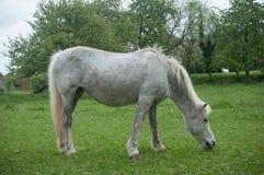 Grey Horse in een weide Royalty-vrije Stock Afbeeldingen