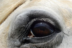 Grey horse eye close up  portrait Royalty Free Stock Photography