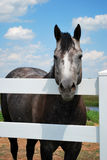 Grey Horse Facing Viewer. Gray and white horse rests head on white fence Stock Photography