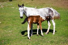 Grey horse feeding colt Royalty Free Stock Image