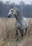 Grey horse on field. The gray horse in the autumn field royalty free stock image