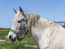 Grey horse in field Royalty Free Stock Image