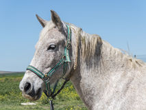 Grey horse in field Royalty Free Stock Photography