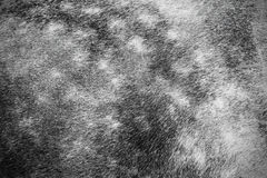 Grey horse fur detail. Detail of a grey (skimmel) horse fur Stock Photo