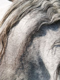 Grey horse (55) detail Stock Image