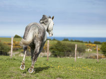 Grey horse galloping across a green meadow Royalty Free Stock Photography