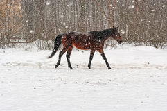 Grey horse going under snowfall. Royalty Free Stock Image