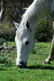 A grey horse grazing Royalty Free Stock Images