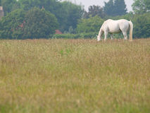 Grey Horse Grazing Image libre de droits