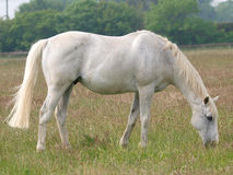 Grey Horse Grazing Royaltyfri Bild