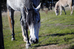 Grey horse grazing on grass in paddock Royalty Free Stock Photos