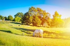 A grey horse grazing in a meadow on a green slope of the hill stock images