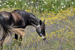 Grey horse in grazing in meadow Royalty Free Stock Image