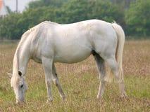 Grey Horse Grazing Stock Image