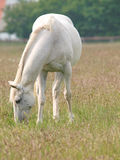 Grey Horse Grazing Stock Photo