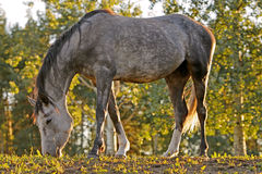 Grey Horse grazing among trees Stock Image