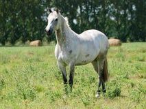 Grey Horse grazioso Fotografia Stock Libera da Diritti