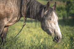 Grey horse in the green field Stock Image