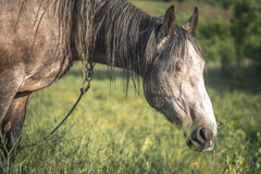 Grey horse in the green field Royalty Free Stock Images