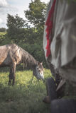 Grey horse on the green meadow with van Stock Image