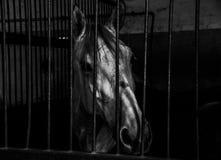 Grey Horse head close up Stock Photo