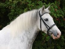 Free Grey Horse Head Shot Royalty Free Stock Image - 105222596