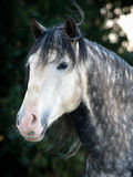 Grey Horse Head Shot. A head shot of a beautiful dappled grey horse Royalty Free Stock Image