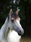 Grey Horse Head Shot Royalty Free Stock Image