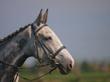 Grey Horse Head Shot Stock Image